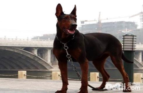 莱州红犬容易攻击人吗?莱州红犬优点和缺点-狗狗品种