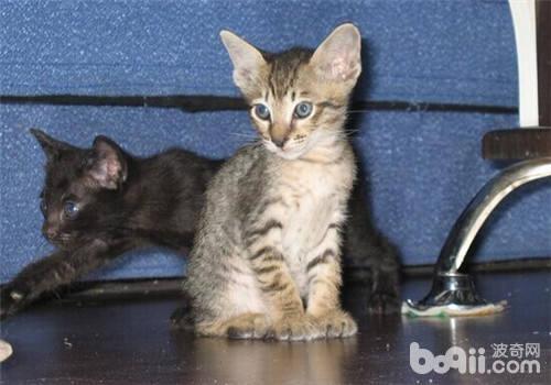 猫咪喜欢钻盒子的原因分析-成猫饲养